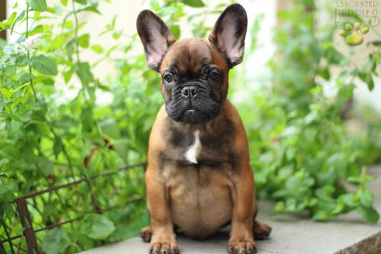 Elmo French Bulldog Puppy For Sale In Fairview Nj Lancaster