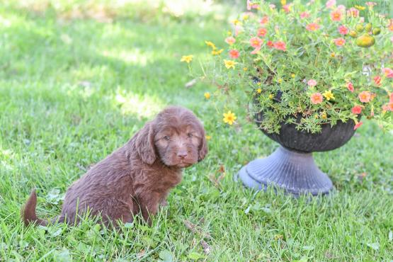 HELEN - Adorable Labradoodle for sale in Fresno, OH