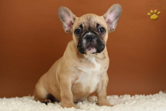 Hope - French Bulldog Puppy for Sale in Piscataway, NJ