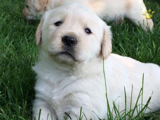 George - Goldador Puppy for Sale in Gap, PA | Lancaster Puppies