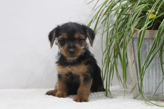 Besty Dachshund Mix Puppy For Sale In Fort Plain Ny Lancaster