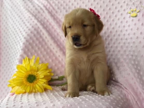Diana Golden Retriever Puppy For Sale In Lincoln University Pa