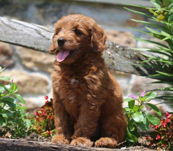 Leelee Mini Goldendoodle Puppy For Sale In Paradise Pa