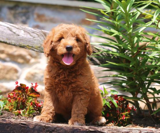 LeeLee - Goldendoodle Puppy for Sale in Paradise, PA