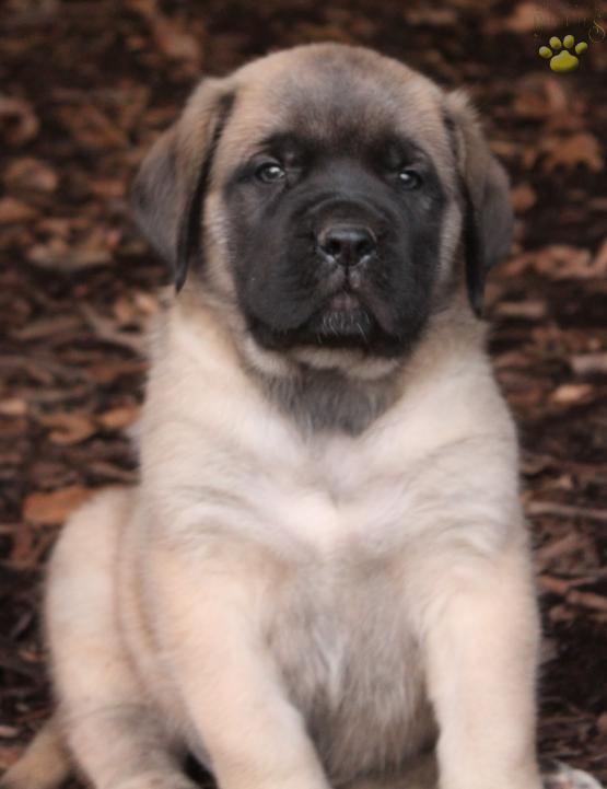 Knight English Mastiff Puppy For Sale In Denver Pa Lancaster