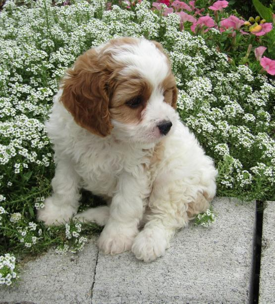 Alex - Cavapoo Puppy for Sale in Penn Yan, NY   Lancaster