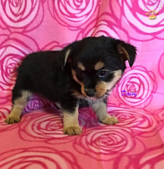 Daisy Yorkie Pom Puppy For Sale In East Earl Pa Lancaster