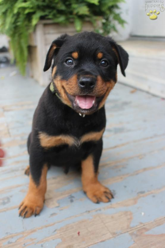 Willy Rottweiler Mix Puppy For Sale In Williamsburg Pa