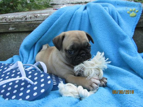 Corbin - Pug Puppy for Sale in Liberty, KY | Lancaster Puppies