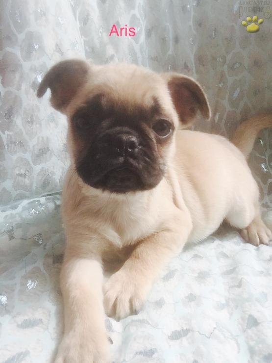 Brindle Girl French Bulldogpug Hybrid Puppy For Sale In