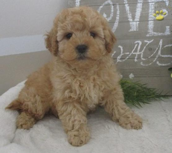 Rover - Cavapoo Puppy for Sale in Millersburg, OH   Lancaster