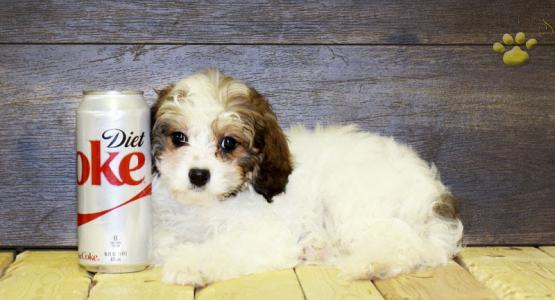 Phillip - Cavapoo Puppy for Sale in Columbus, OH | Lancaster