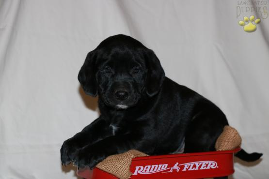 puppies for sale flyers ecza productoseb co