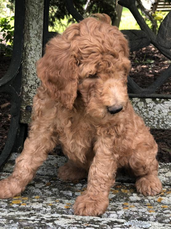 Duke F1b Goldendoodle Puppy For Sale In West Alexandria
