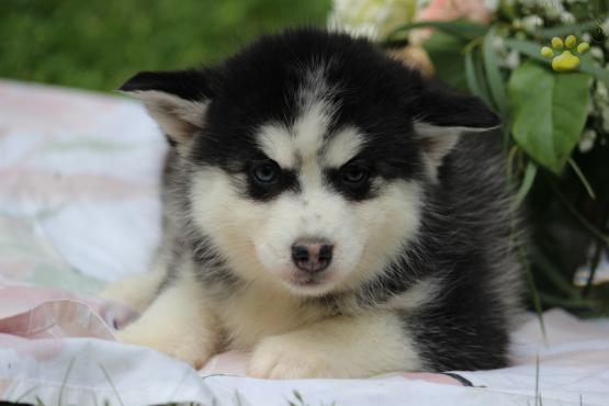 Bruce - Pomsky Puppy for Sale in Peach Bottom, PA