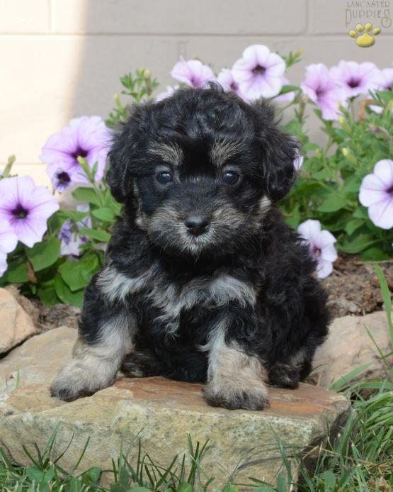Trixie Mini Aussiedoodle Puppy For Sale In Fresno Oh Lancaster