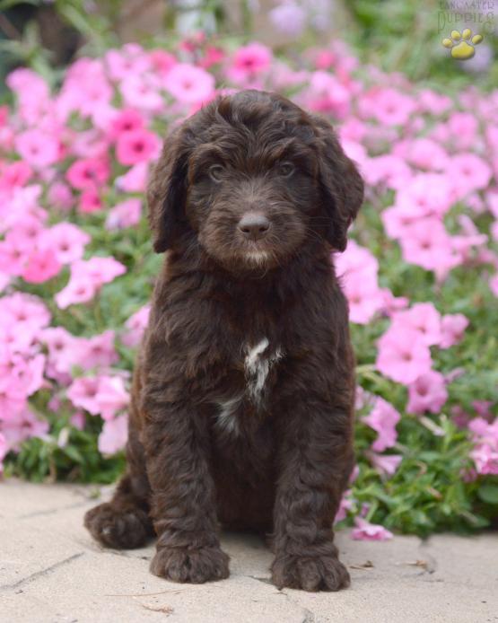 Lulu - Newfypoo Puppy for Sale in Sugarcreek, OH | Lancaster