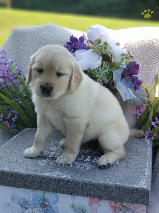 Joyce Golden Retriever Puppy For Sale In Ashland Oh Lancaster