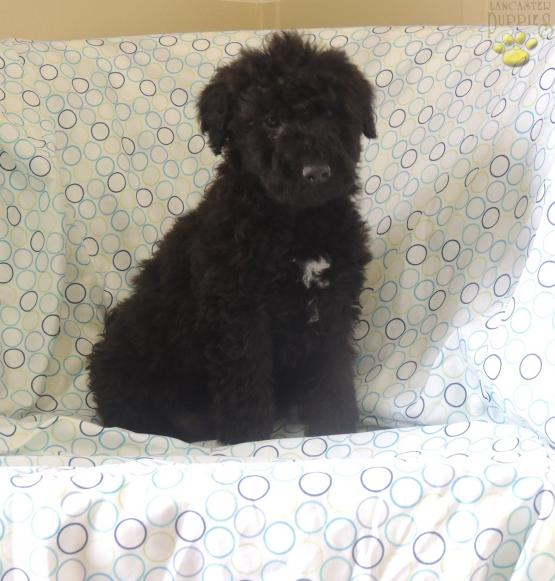 Starburst - Airedoodle Puppy for Sale in Albany, KY