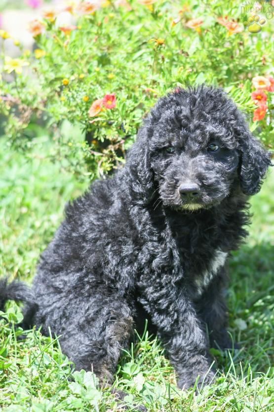 NICHOLAS - F1B LABRADOODLE FOR SALE IN FRESNO, OH