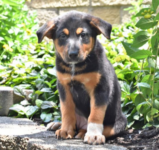Violet Rottweiler Mix Puppy For Sale In Millersburg Oh