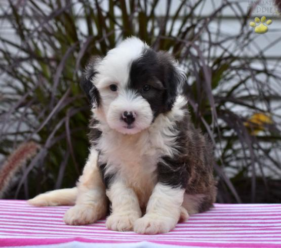 Mini Preston - Sheepadoodle Puppy for Sale in Fresno, OH | Lancaster