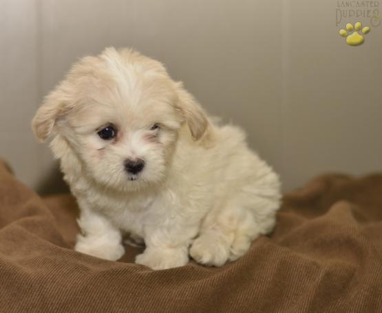 Iris Maltzu Malteseshih Tzu Puppy For Sale In Millersburg Oh