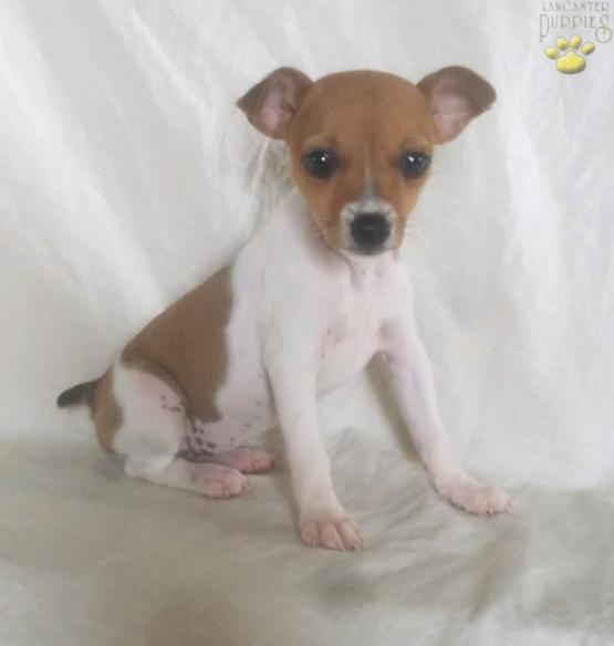 Candy Toy Fox Terrier Puppy For Sale In Sugarcreek Oh Lancaster