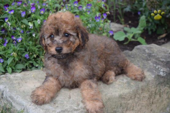 Benji Mini Aussiedoodle Puppy For Sale In Fresno Oh Lancaster
