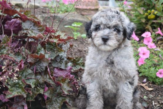 Nicky Mini Aussiedoodle Puppy For Sale In Fresno Oh Lancaster