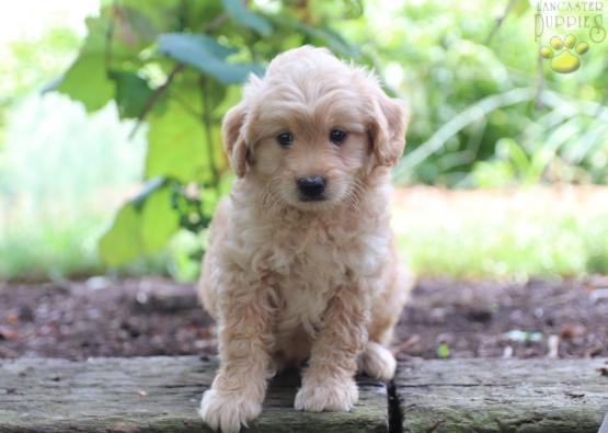 Mike F1B - Mini Goldendoodle Puppy for Sale in Gap, PA