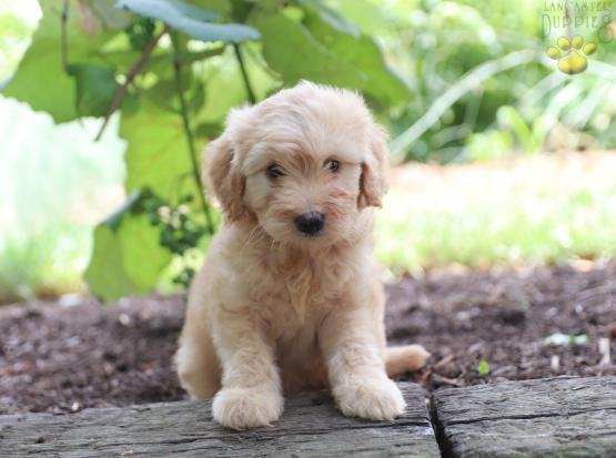 Musty F1B - Mini Goldendoodle Puppy for Sale in Gap, PA