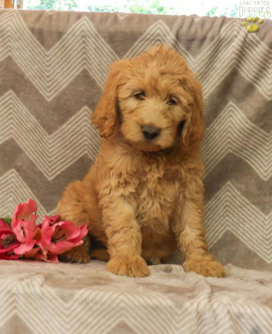 Finn Goldendoodle Puppy For Sale In Selinsgrove Pa