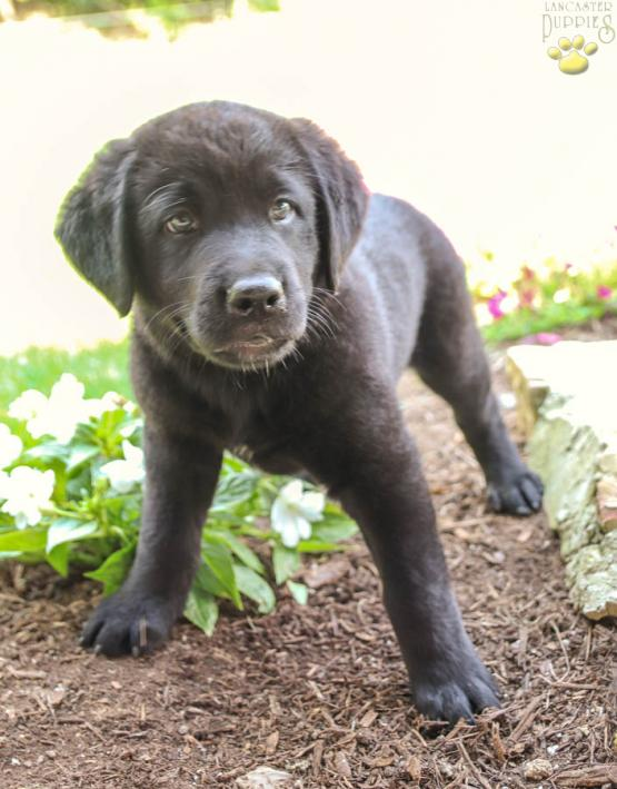 Rosa Bernese Mountain Dog Lab Mix Puppy For Sale In Blain