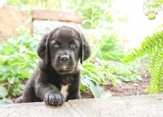 Ryder Bernese Mountain Dog Lab Mix Puppy For Sale In Blain