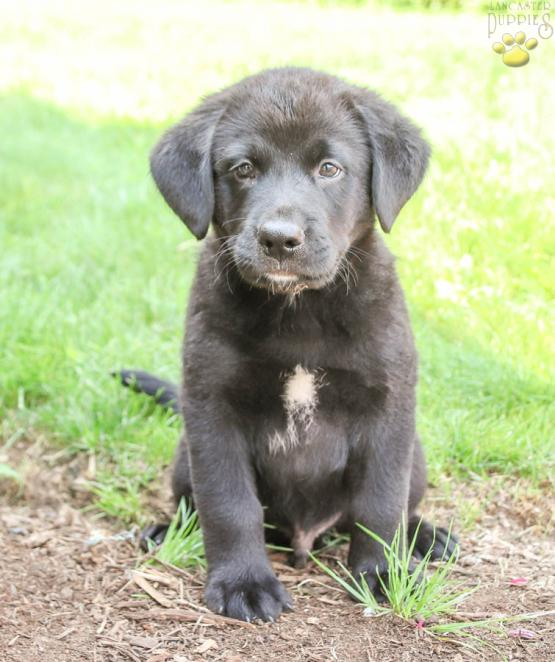 Riggs Bernese Mountain Dog Lab Mix Puppy For Sale In Blain