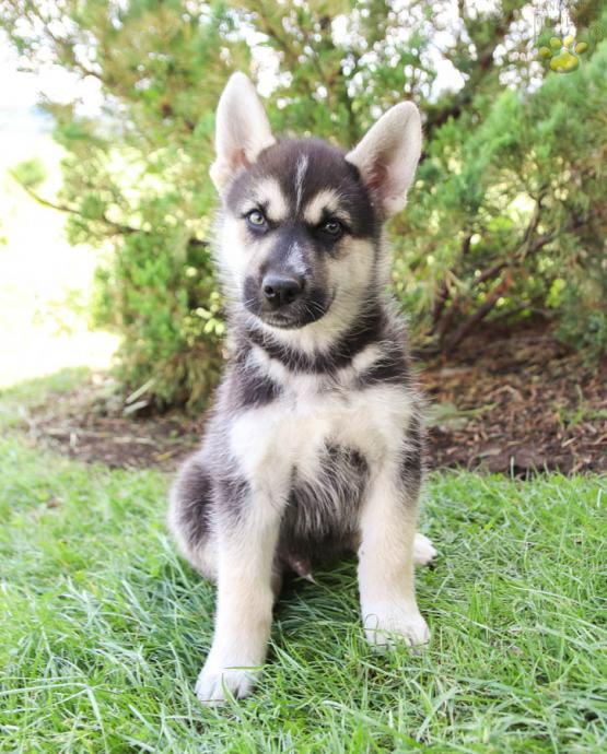 Arrow German Shepherdhusky Puppy For Sale In Spring Mills Pa