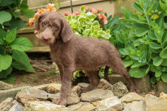 Sasha Mini Poodle Mix Puppy For Sale In New Holland Pa