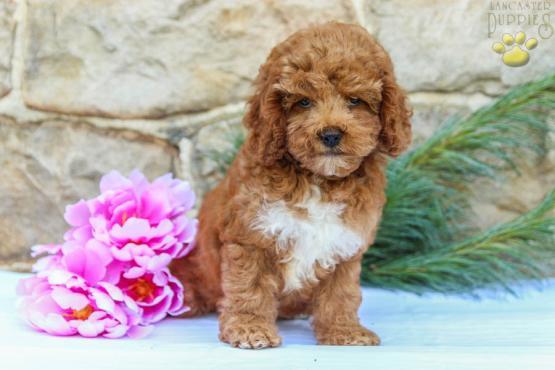 Bubbles (F1B Generation) - Cockapoo Puppy for Sale in