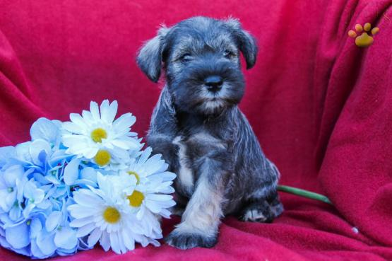Scott Miniature Schnauzer Puppy For Sale In Dornsife Pa