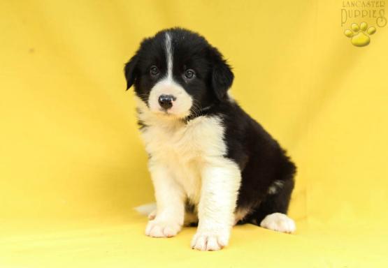 Darrel Australian Shepherd Mix Puppy For Sale In Mifflintown Pa