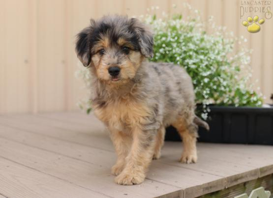 Gina Mini Aussiedoodle Puppy For Sale In Ronks Pa Lancaster