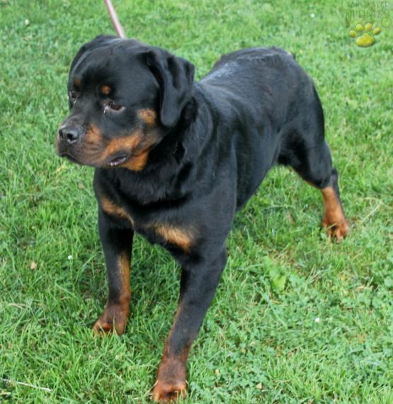 Rudolph Rottweiler Puppy For Sale In Lancaster Pa Lancaster