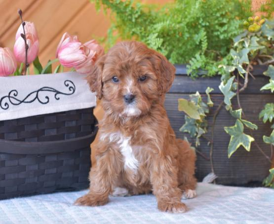 Mia - Cavapoo Puppy for Sale in Greenwich, OH | Lancaster