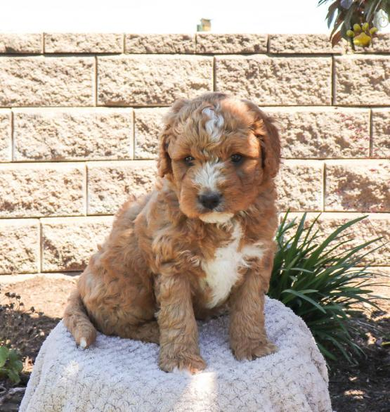 Aston F1b Mini Bernedoodle Puppy For Sale In