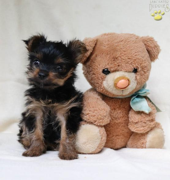 Kayla - Yorkshire Terrier Puppy for Sale in Port Trevorton