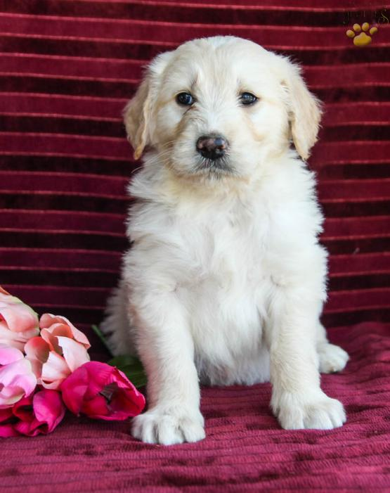 Ricky Golden Retriever Mix Puppy For Sale In Dornsife Pa