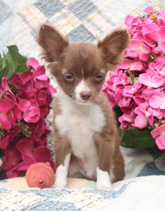 Hershey Chihuahua Puppy For Sale In Manheim Pa Lancaster