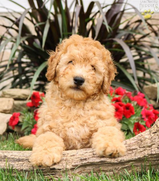 Star Boy (F1B Generation) - Mini Goldendoodle Puppy for Sale