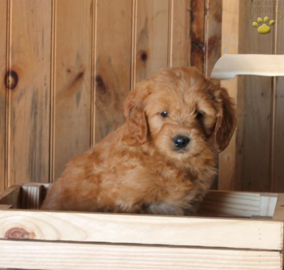 Sammy Mini Goldendoodle Puppy For Sale In Kirkwood Pa